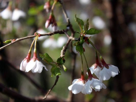 Prunus incisa Kojou-no-mai, Zierkirsche