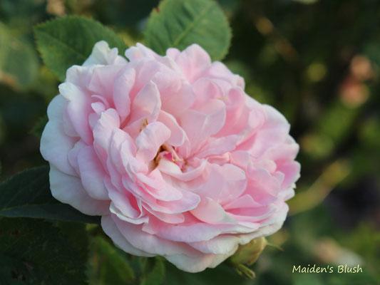 Maiden's Blush