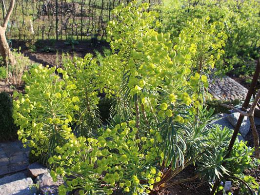 Zwei milde Winter und die Euphorbia characias (Mittelmeer Wolfsmilch) macht schon was her!