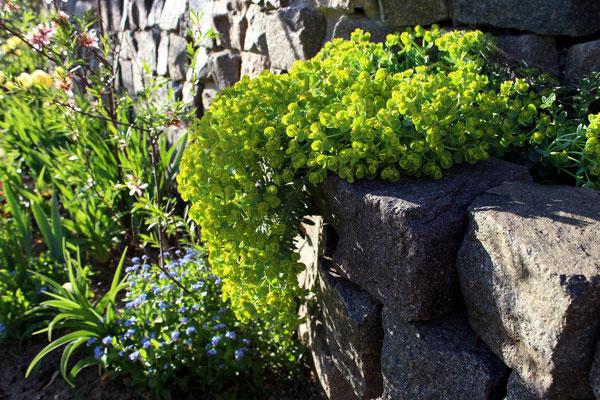 Euphorbia myrsinites (Walzen-Wolfsmilch) legt sich elegant über die Steine der Trockenmauer...