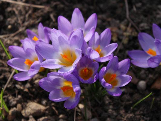 Crocus sieberi ssp. sublimis 'Tricolor'