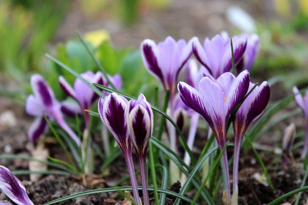 Crocus minimus 'SpringBeauty'