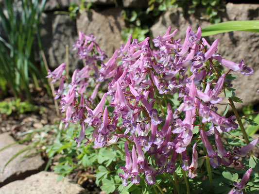 Corydalis solida (Lerchensporn)