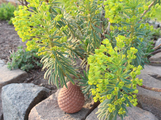 Euphorbia characias, Mittelmeer- Wolfsmilch, kommt dank des milden Winters zur Blüte