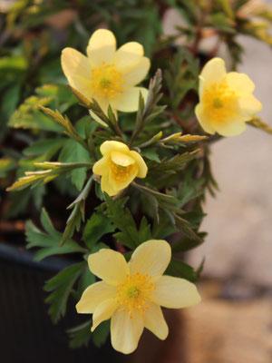 Anemone x lipsiensis 'Vimariensis'