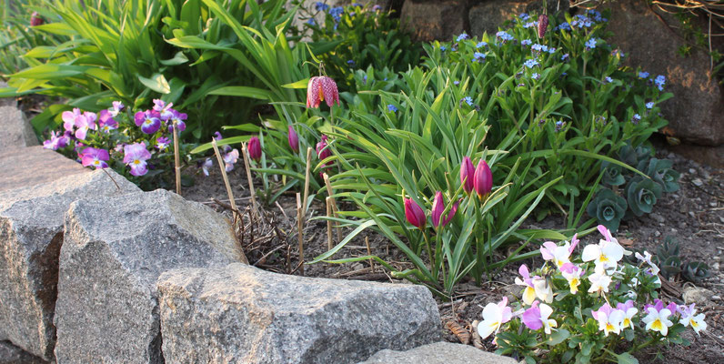 Hornveilchen u. Wildtulpe, gekauft als T. humilis 'Lilac Wonder', scheint aber eine andere Sorte zu sein...