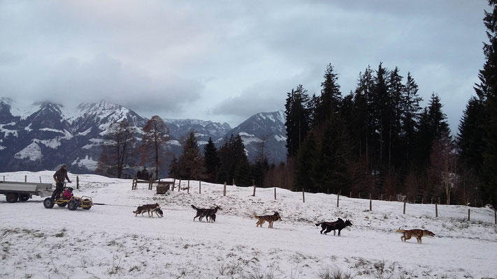 Ende Dezember, zuwenig Schnee für den Schlitten, aber immerhin Schnee unter den Pfoten ;-)