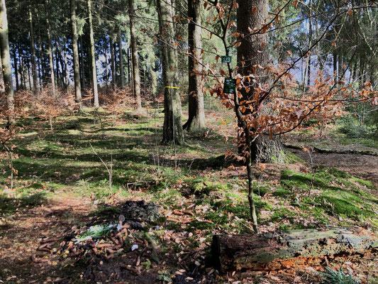 Junge Buche mit Schild für Gravuren und Birke mit gelbem Band (Gemeinschaftsbaum) im Hintergrund