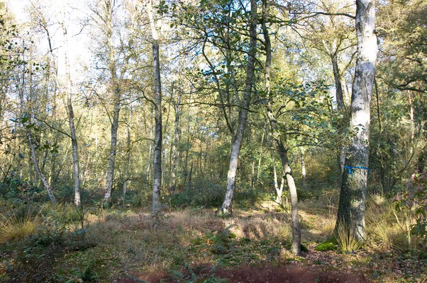 Birke mit blauem Band (Familienbaum)