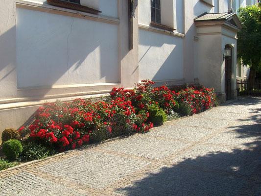Rosenbeet an der Kirche Pauli Bekehr