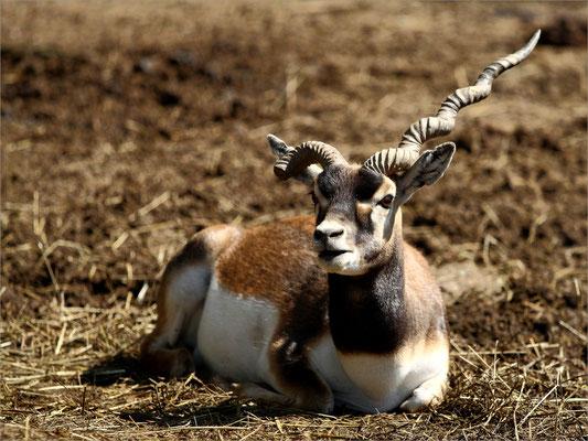 Antilope au Zoo de Peaugres