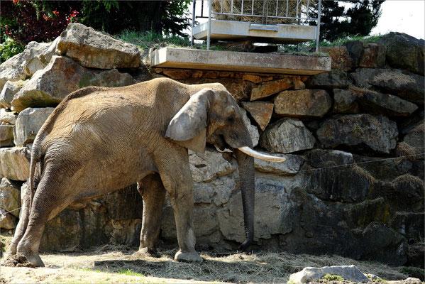 Elephant au Zoo de Peaugres