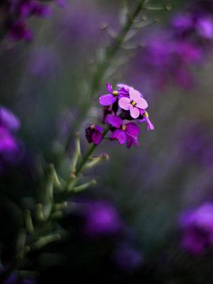 Fleur sauvage du Lot