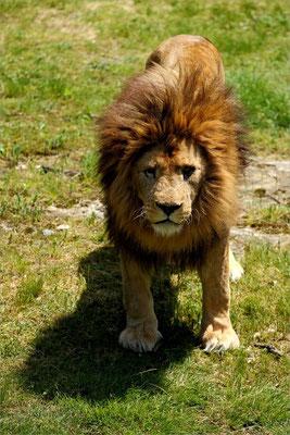 Lion au Zoo de Peaugres