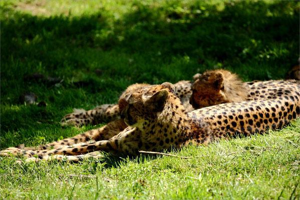 Panthère au Zoo de Peaugres