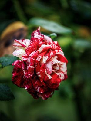 Rose Julio Iglesias
