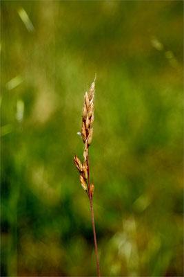 Epis de blé du Lot