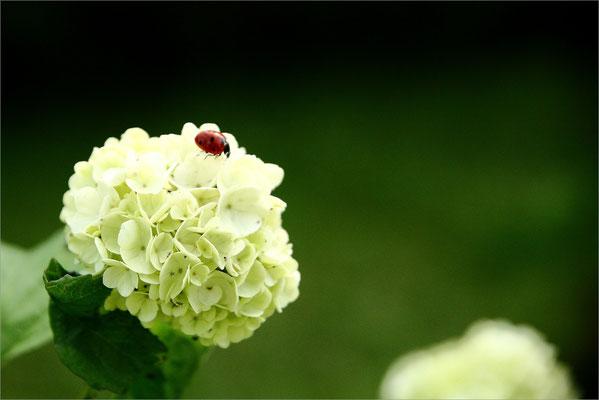 Hortensia du jardin