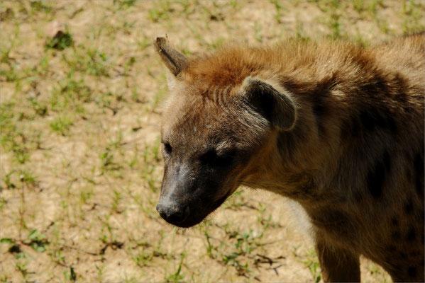 Hyène au Zoo de Peaugres