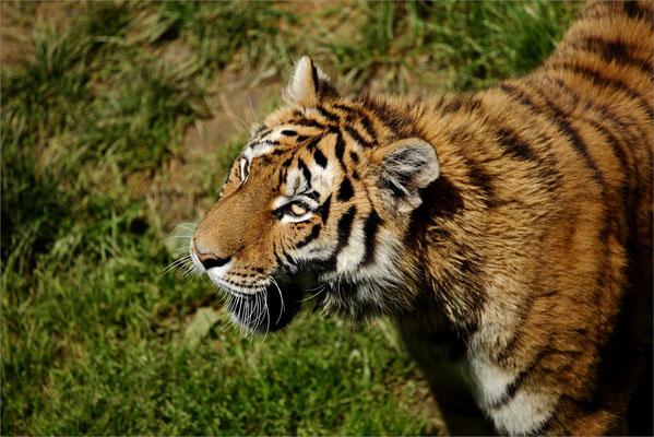 Tigre au Zoo de Peaugres