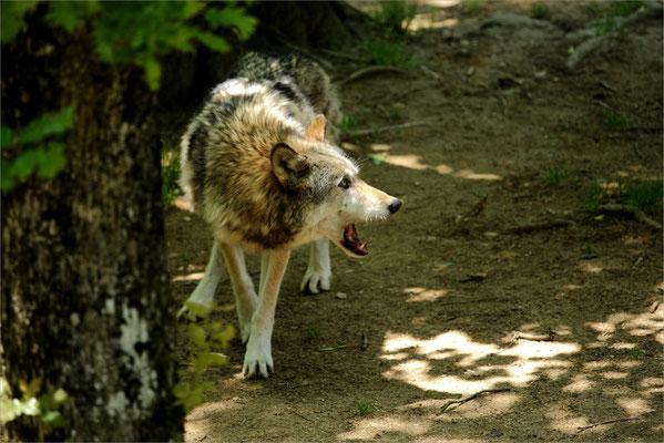 Loup au Zoo de Peaugres