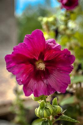 Fleur à Soyans (Drôme)
