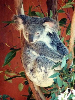 Im Koala Sanctuary ...