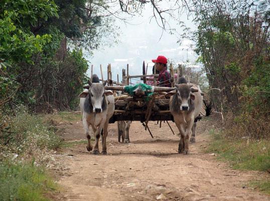 Loi Kin Village - Ochsenkarren auf dem Dorfweg ...