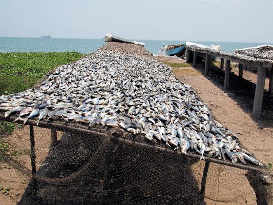 Fischreichtum - die Sonne trocknet und konserviert  den reichen Fang
