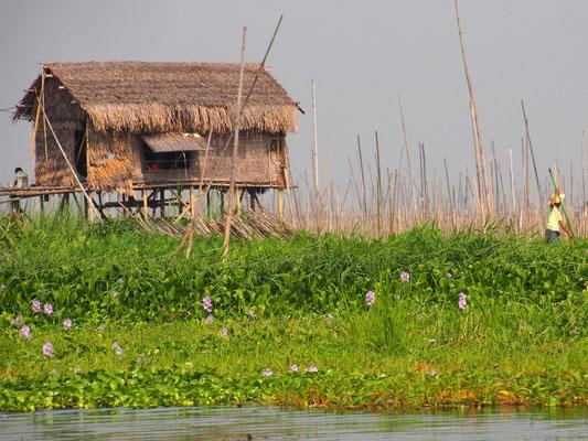 Die schwimmenden Gärten werden mit Bambusstangen am Seegrund fixiert