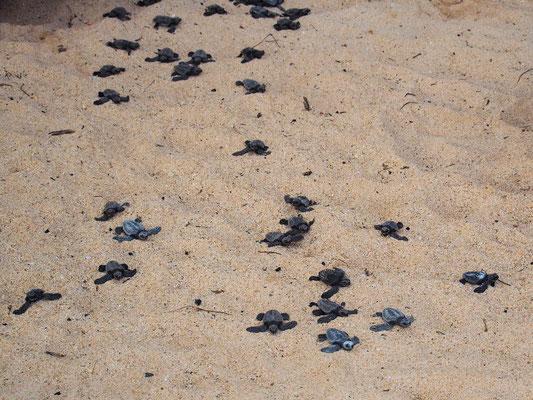 Wettrennen - Babayschildkröten kämpfen ...