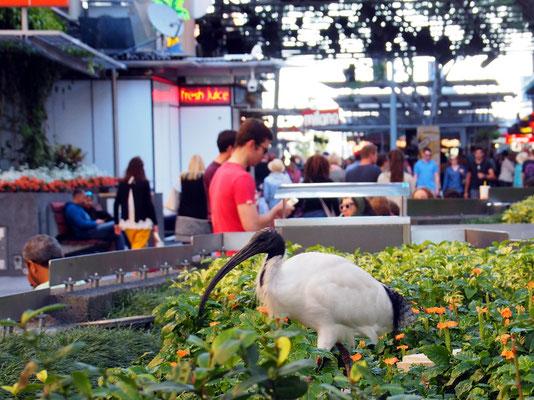Für uns exotisch - Vogel in der Fußgängerzone von Brisbane