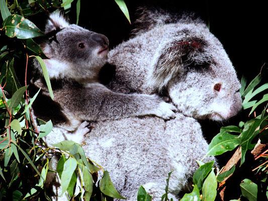 ... sahen wir Koalas ...
