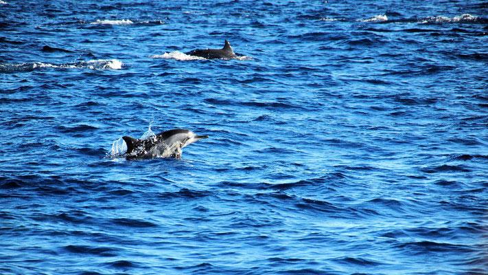 Vor Sri Lankas Küsten tummeln sich große Delphinschulen ...