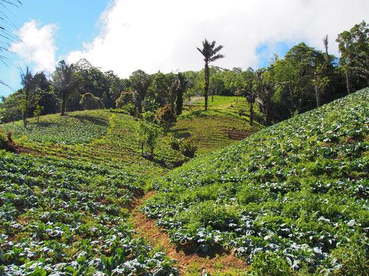 Fluch und Segen - fruchtbare Felder säumen sich am Rande der Vulkane