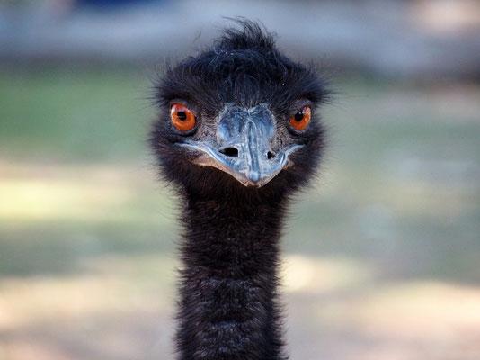 ... aber auch Emus ...