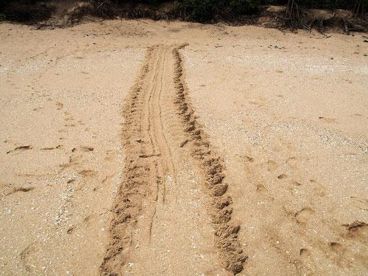 ... von Meeresschildkröten, die sich über den Strand zur Eiablage schleppen