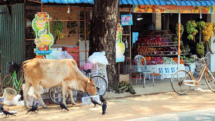 Vorrecht - Kühe dürfen überall fressen