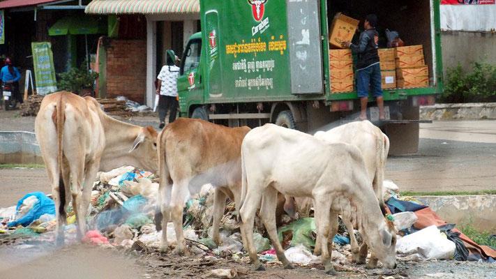 Mittendrin - Rinder als Müllschlucker