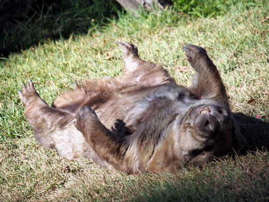 Dicker Beutler, der Wombat