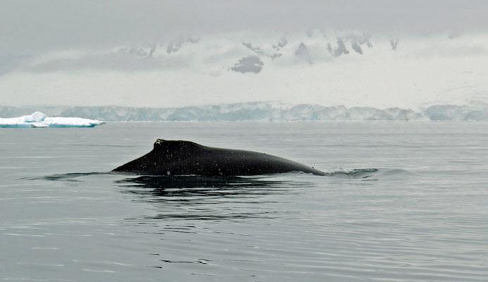 Neben unserem Zodiac taucht ein Buckelwal auf!