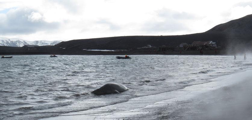 Ein junger Seeelefant, höchstens 3 Tonnen schwer, genießt das warme Wasser.