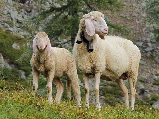 """Schafe ©Ferienwohnungen """"Rauchegg"""", Urlaub auf dem Bauernhof, Südtirol, Ultental"""