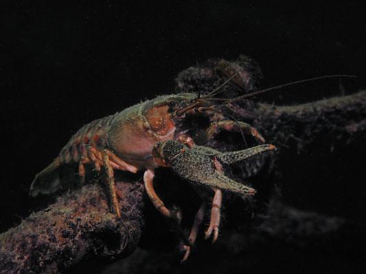 Orconectes limosus - Kamberkrebs Amerik. Flusskrebs