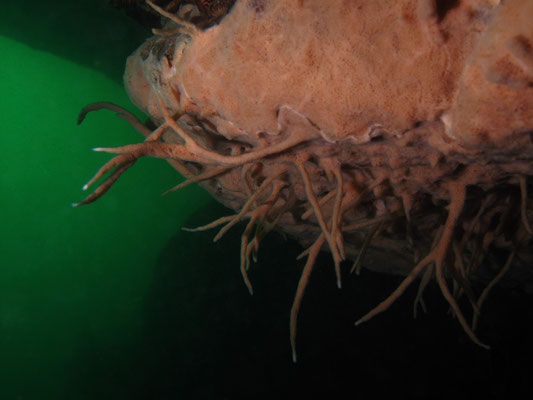 Spongillidae - Süsswasserschwamm