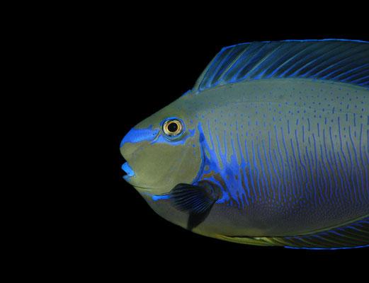 Masken-Nasendoktorfisch Nasa vlamingii