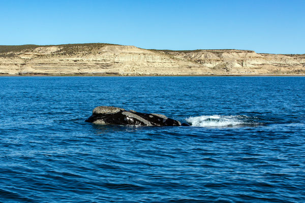 Southern Right Whale - Südlicher Glattwal