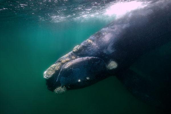 Southern Right Whale - Südlicher Glattwal
