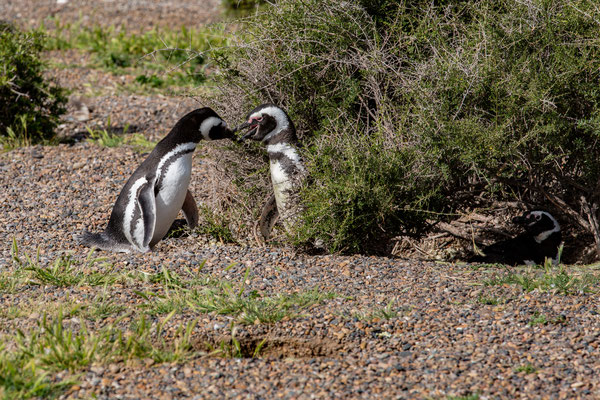 Magellan Pinguin - Spheniscus Magellanicus