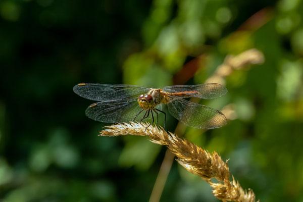 Sumpf-Heidelibelle (Sympetrum depressiusculum)